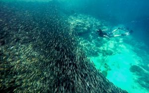 Moalboal Sardines Fishes