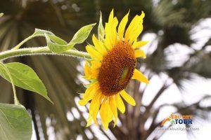 Cebu Sun Flower