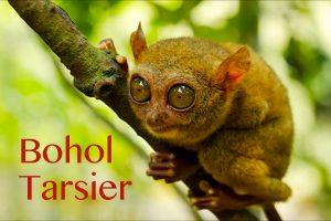 Bohol Tarsier - Big Eyes Mammals