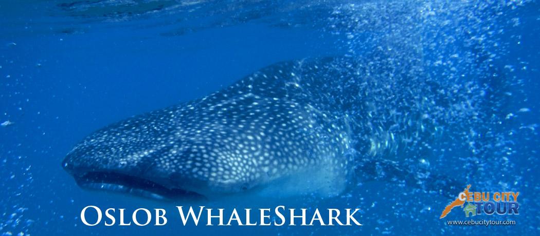 Cebu Whaleshark