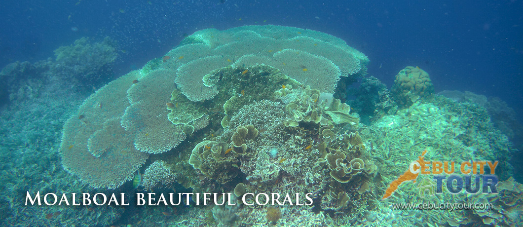 Moalboal Corals