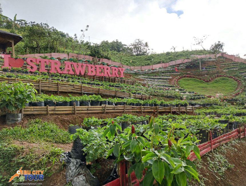 Cebu Strawberry Plantation