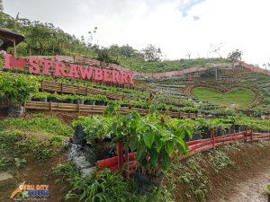 Cebu Strawberry Plantation