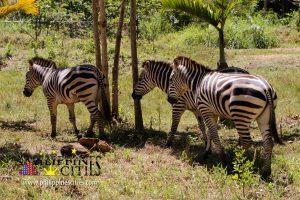 Zebra Cebu Safari