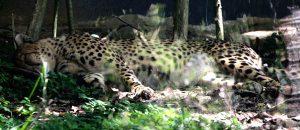 Cheeta Cebu safari