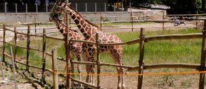 Giraffe Cebu Safari